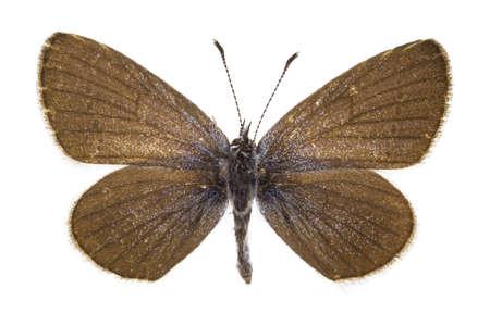 dorsal: Vista dorsal de Cupido minimus (Little Blue) mariposa aislado sobre fondo blanco.