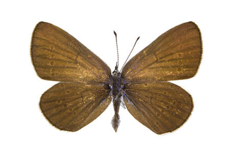 dorsal: Dorsal view of Cupido osiris (Osiris Blue) butterfly isolated on white background.