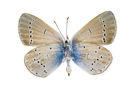 Ventral view of Cupido osiris (Osiris Blue) butterfly isolated on white background.