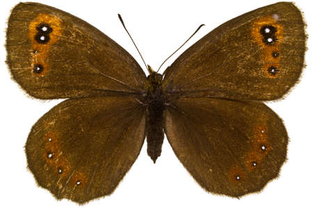 dorsal: Dorsal view of Erebia aethiops (Scotch Argus) butterfly isolated on white background.