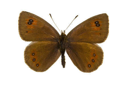 dorsal: Dorsal view of Erebia cassioides (Common Brassy Ringlet) butterfly isolated on white background. Stock Photo