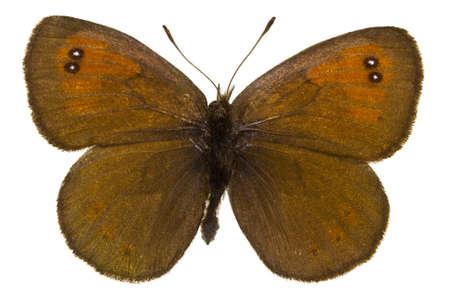 dorsal: Dorsal view of Erebia tyndarus (Swiss Brassy Ringlet) butterfly isolated on white background.