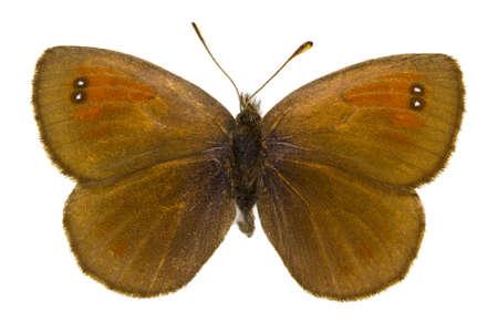 ringlet: Dorsal view of Erebia tyndarus (Swiss Brassy Ringlet) butterfly isolated on white background.