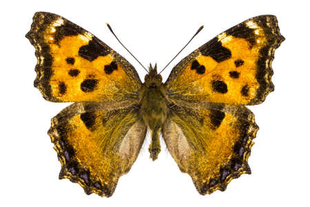 nymphalis: Dorsal view of Nymphalis xanthomelas (Yellow-legged Tortoiseshell) butterfly isolated on white background.