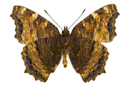 nymphalis: Ventral view of Nymphalis xanthomelas (Yellow-legged Tortoiseshell) butterfly isolated on white background. Stock Photo