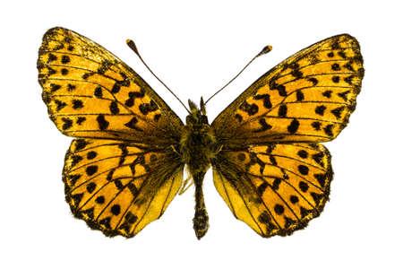 dorsal: Dorsal view of Boloria (Clossiana) titania (Titanias Fritillary) butterfly isolated on white background.