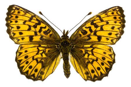 dorsal: Vista dorsal de Boloria (Clossiana) titania (Fritillary de Titania) mariposa aislado sobre fondo blanco.