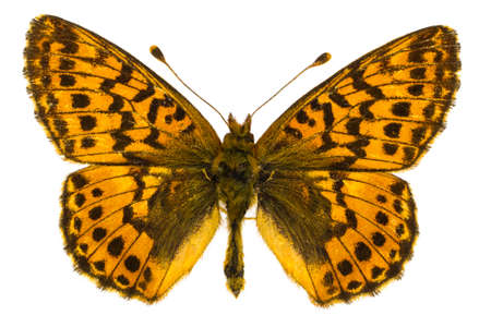 dorsal: Dorsal view of Boloria aquilonaris (Cranberry Fritillary) butterfly isolated on white background.