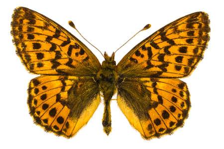 dorsal: Vista dorsal de Boloria aquilonaris (Cranberry Fritillary) mariposa aislados sobre fondo blanco.
