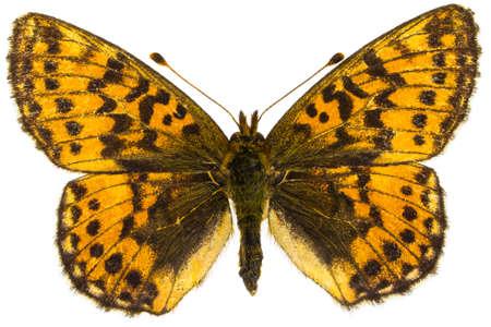 dorsal: Vista dorsal de Boloria aquilonaris (Cranberry Fritillary) mariposa aislado sobre fondo blanco.