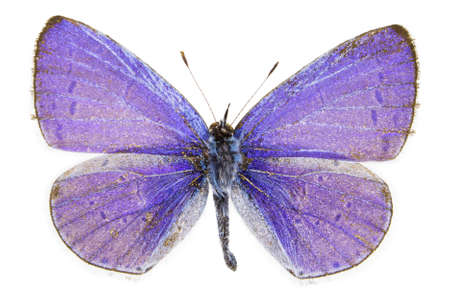 dorsal: Dorsal view of Celastrina argiolus (Holly Blue) butterfly isolated on white background. Stock Photo