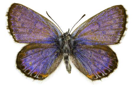 dorsal: Dorsal view of Pseudophilotes bavius (Bavius Blue) butterfly isolated on white background. Stock Photo