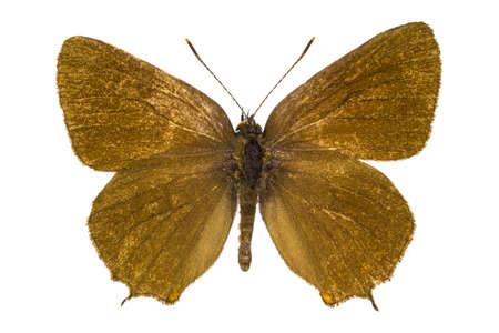 dorsal: Dorsal view of Satyrium ilicis (Ilex Hairstreak) butterfly isolated on white background. Stock Photo