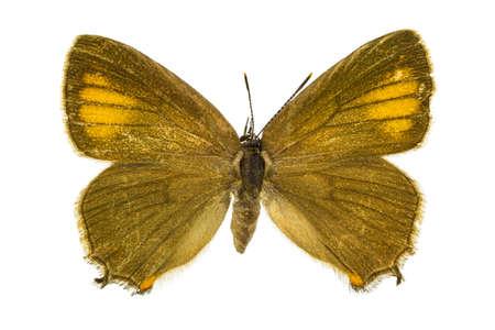 dorsal: Vista dorsal de Satyrium ilicis (Ilex Hairstreak) mariposa aislado sobre fondo blanco.