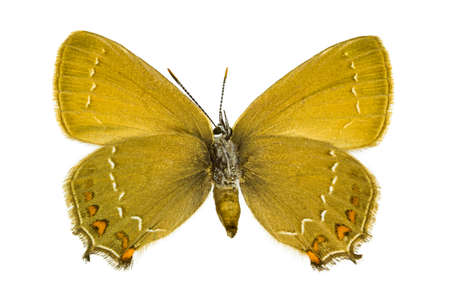 Ventral view of Satyrium ilicis (Ilex Hairstreak) butterfly isolated on white background. photo