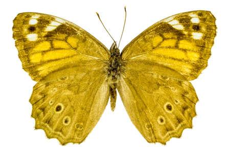 dorsal: Dorsal view of Kirinia roxelana (Lattice Brown) butterfly isolated on white background.