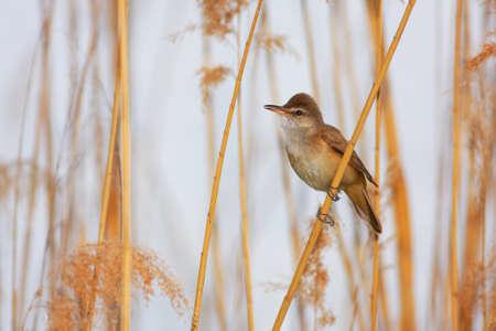 Great Reed Warbler (Acrocephalus arundinaceus) sitting on a branch of reed.