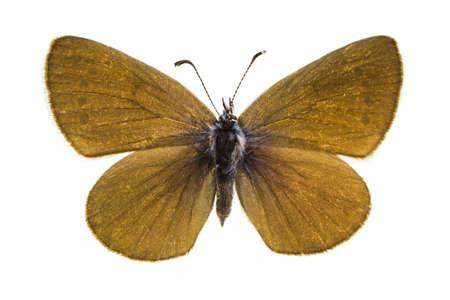 dorsal: Vista dorsal de Glaucopsyche alexis (verde-azul inferior) mariposa aislado sobre fondo blanco.