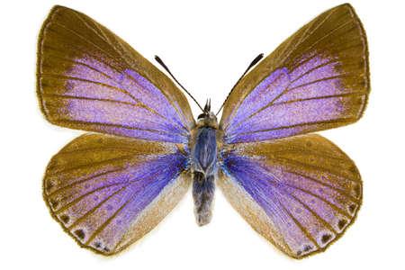 dorsal: Vista dorsal de Iolana iolas (Iolas Azul) mariposa aislado sobre fondo blanco.