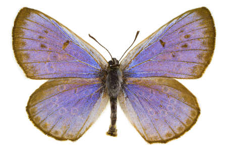 dorsal: Vista dorsal de Phengaris arion (Large Blue) mariposa aislado sobre fondo blanco.