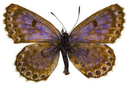 dorsal: Vista dorsal de Scolitantides orion (a cuadros azul) mariposa aislado sobre fondo blanco.