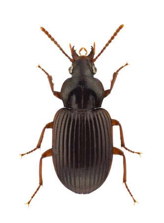 carabidae: African Carabidae isolated on white background.