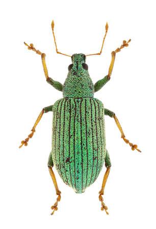 curculionidae: Polydrusus thalassinus curculionidae isolated on white background. Stock Photo