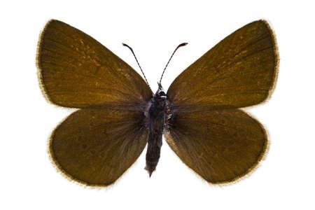 dorsal: Vista dorsal de Cyaniris semiargus (Mazarine Blue) mariposa aislado sobre fondo blanco.