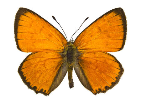 Dorsal view of Lycaena virgaureae (Scarce Copper) butterfly isolated on white background.