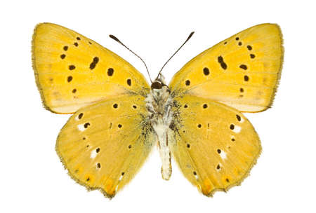 virgaureae: Ventral view of Lycaena virgaureae (Scarce Copper) butterfly isolated on white background.