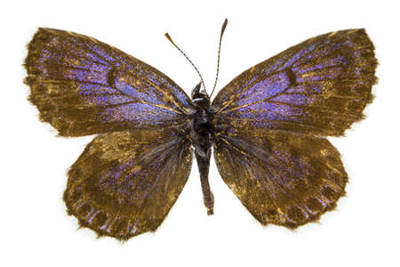 dorsal: Dorsal view of Scolitantides orion (Chequered Blue) butterfly isolated on white background.