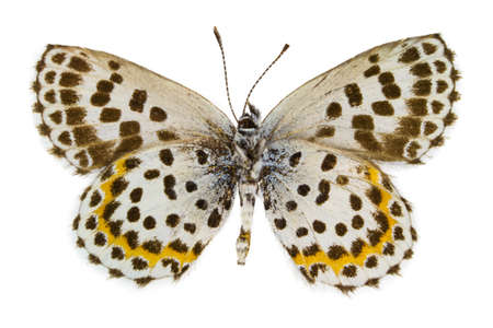 Ventral view of Scolitantides orion (Chequered Blue) butterfly isolated on white background. Stock Photo