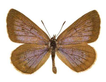 Dorsal view of Phengaris nausithous (Dusky Large Blue) butterfly isolated on white background. Stock Photo