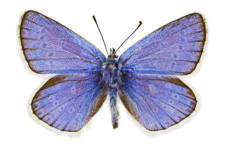 Dorsal view of Polyommatus dorylas (Turquoise Blue) butterfly isolated on white background. Stock Photo