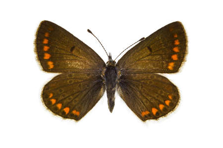 dorsal: Vista dorsal de Aricia agestis (Brown Argus) mariposa aislado sobre fondo blanco. Foto de archivo