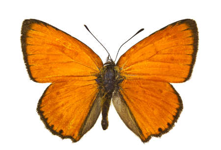 virgaureae: Dorsal view of Lycaena virgaureae (Scarce Copper) butterfly isolated on white background.