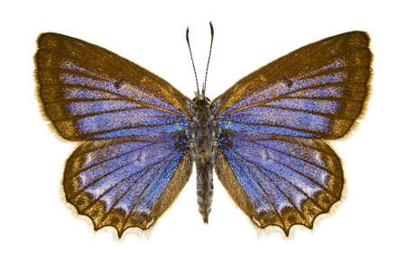 dorsal: Vista dorsal de Polyommatus Daphnis mariposa aislado sobre fondo blanco.