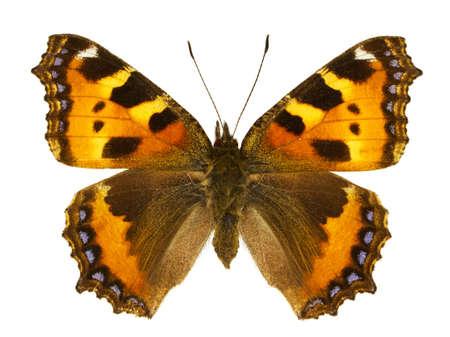 dorsal: Vista dorsal de Aglais urticae (Peque�a concha) mariposa aislado sobre fondo blanco. Foto de archivo