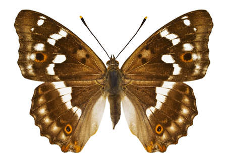 Dorsal view of Aglais ilia (Lesser Purple Emperor) butterfly isolated on white background. Standard-Bild