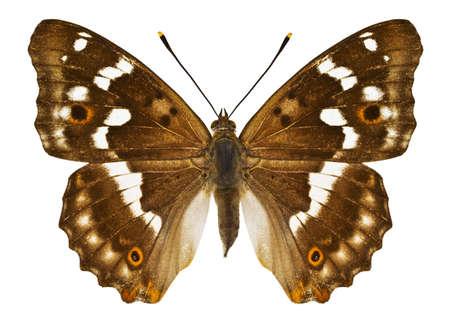 dorsal: Vista dorsal de Aglais ilia (Lesser Purple Emperor) mariposa aislado sobre fondo blanco.