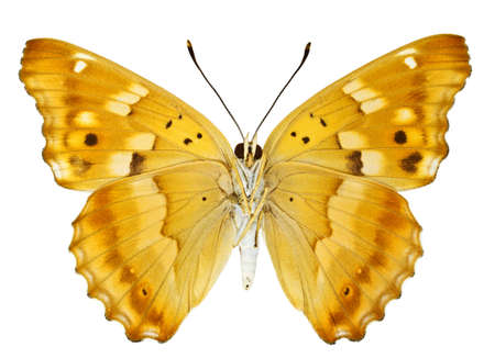 Ventral view of Aglais ilia (Lesser Purple Emperor) butterfly isolated on white background. Stock Photo