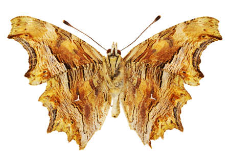 dorsal: Dorsal view of Polygonia egea (Southern Comma) butterfly isolated on white background.