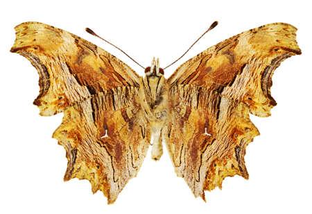 dorsal: Vista dorsal de Polygonia egea (Comma Sur) mariposa aislado sobre fondo blanco.