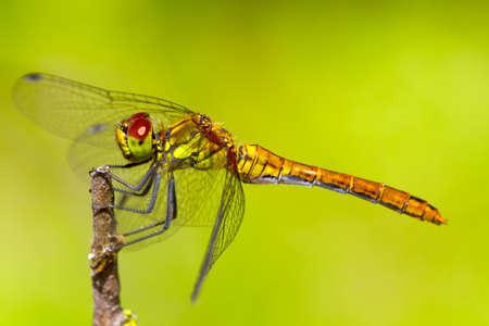 darter: Ruddy Darter  Sympetrum sanguineum  dragonfly sitting on a branch