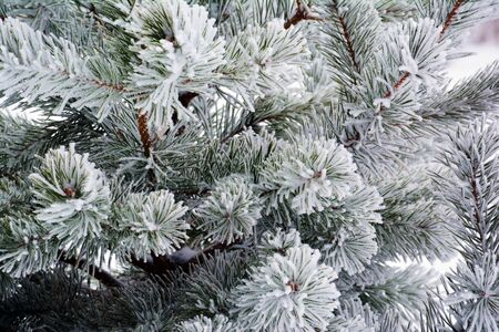 brunches: Pine brunches in hoarfrost closeup