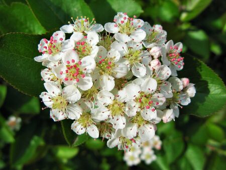 choke: Choke berry blossoms on the branch, macro view Stock Photo