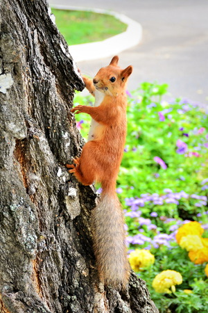 Red squirrel with gray tail on birch trunk