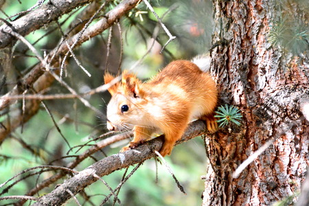 Red squirrel sitting on spruce branch Reklamní fotografie