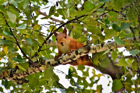 Red squirrel sitting on the birch branch Reklamní fotografie