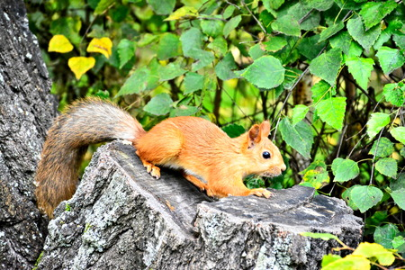 Red squirrel with gray tail sitting on stump Reklamní fotografie - 110750533